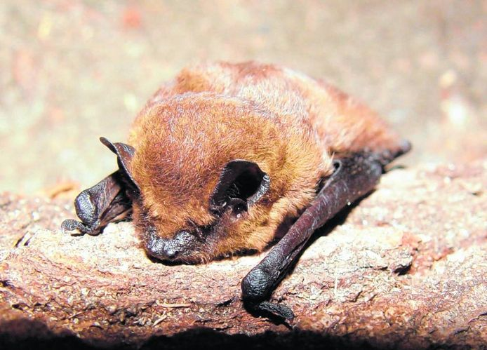 Het project ErvenPlus zorgt voor betere leefomstandigheden voor dieren, zoals vleermuizen.