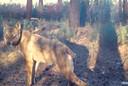 Uit foto's bleek eerder dat wolvin Naya zwanger was. Daarna verdween echter elk spoor van Naya en haar welpen. Volgens het Natuurhulpcentrum zijn daar verschillende verklaringen voor, maar de meest waarschijnlijke is dat de wolvin werd doodgeschoten.
