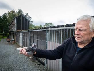 """Marter doodt 13 kweekduiven in Berlaar: """"Beschermde diersoort? Voor wie of voor wat?"""