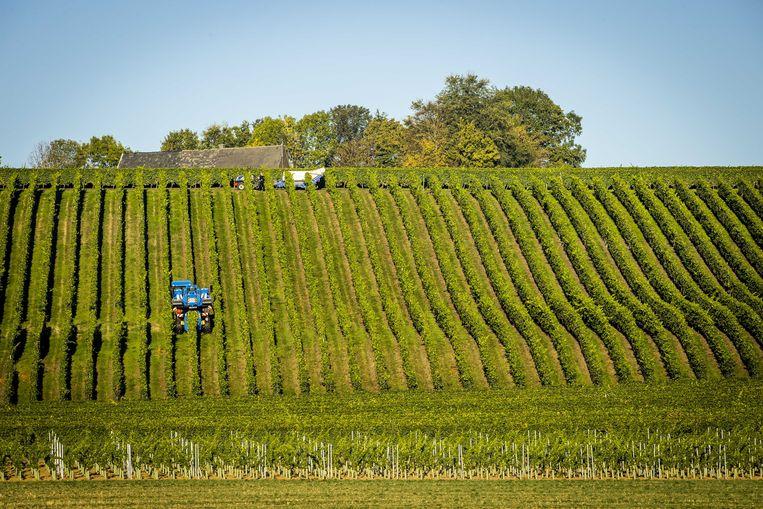 De druiven worden van de druivenranken gehaald bij wijngaard De Apostelhoeve. Vanwege het warme en droge klimaat wordt het fruit al in september van de stokken gehaald.  Beeld ANP