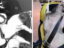 Des cochons vivants utilisés pour simuler des accidents en Chine