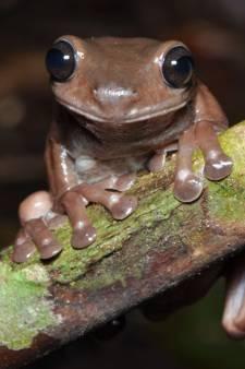 Bijzondere ontdekking in de regenwouden van Nieuw-Guinea: de chocoladekikker