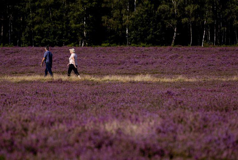 Fietsers en wandelaars genieten van de heide in bloei. Door de regen in juli en augustus kleuren de anders wat groenbruine velden in het natuurgebied de Veluwe paars.  Beeld ANP