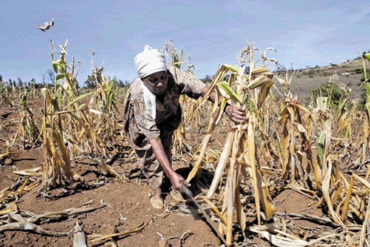 Een boerin probeert te redden wat er te redden valt op haar maïsveld. (Trouw) Beeld