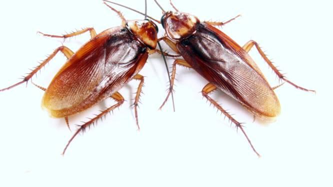 Oei: kakkerlakken zijn slimmer dan we denken