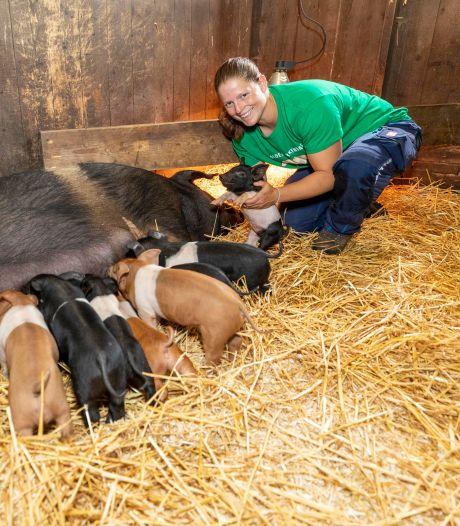 Voor het eerst pasgeboren biggetjes bij 't Vlaerdings Poldervarken