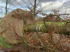 Operatie De Beuk Erin: transport van 20 meter lange bruine beuk van Brabant naar Utrecht wordt megaklus