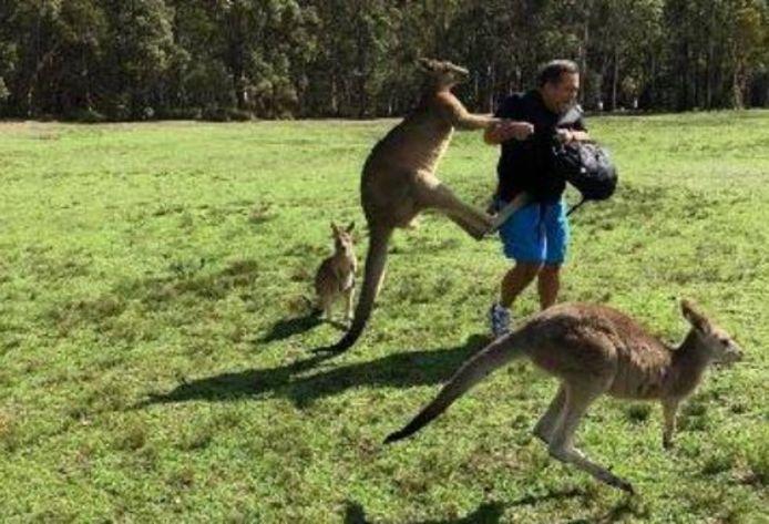Een kangoeroe valt een mannelijke toerist aan.