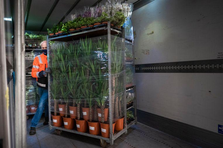 Een vrachtwagen wordt ingeladen met planten die bestemd zijn voor het buitenland. Beeld Freek van den Bergh / de Volkskrant