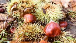 Genieten van de herfst: Op deze 5 plekken in Aalst liggen de noten voor het rapen