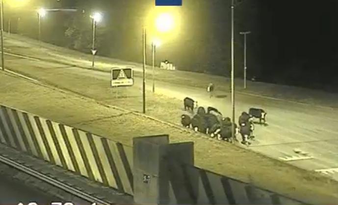 De koeien werden vastgelegd door camera's van Rijkswaterstaat.