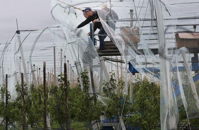 De netten moeten de Magic Star-appels beschermen tegen hagel.