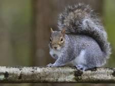 Eekhoorns luisteren gesprekken van vogels af voor hints over mogelijk gevaar