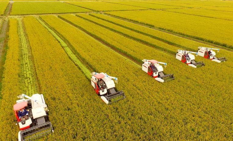 Chinese boeren oogsten rijstkorrels. Beeld AFP