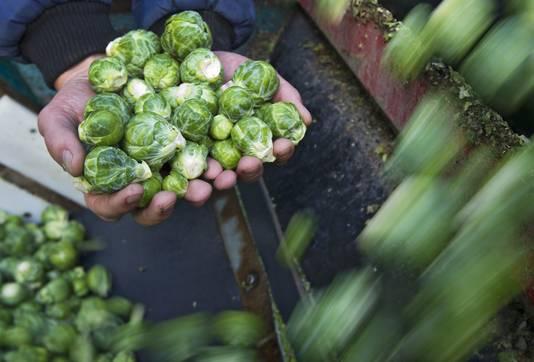 Van groenten die later worden geoogst zoals spruiten komt ook tientallen procenten minder van het land, is de verwachting.
