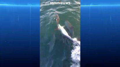 25 dolfijnen laten zich zien voor Belgische kust