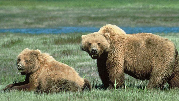 Grizzlyberen in Yelowstone Beeld null
