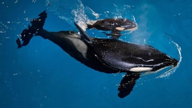 Florida wil orka-shows verbieden met nieuwe wet