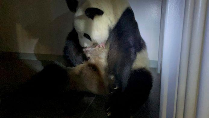 Reuzenpanda Shin Shin vlak na haar bevalling.