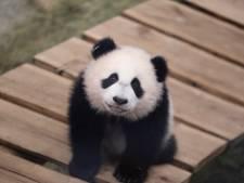 Ouwehands Dierenpark viert verjaardag van Fan Xing met loterij: mag jij een dagje meelopen als verzorger?