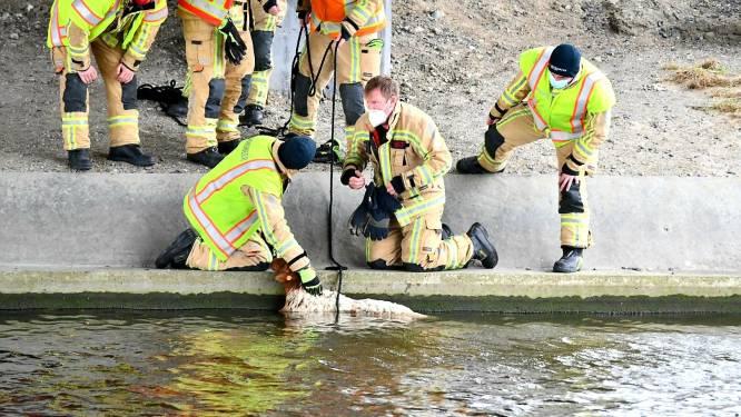 Brandweer redt onfortuinlijk schaap uit kanaal Nieuwpoort-Veurne