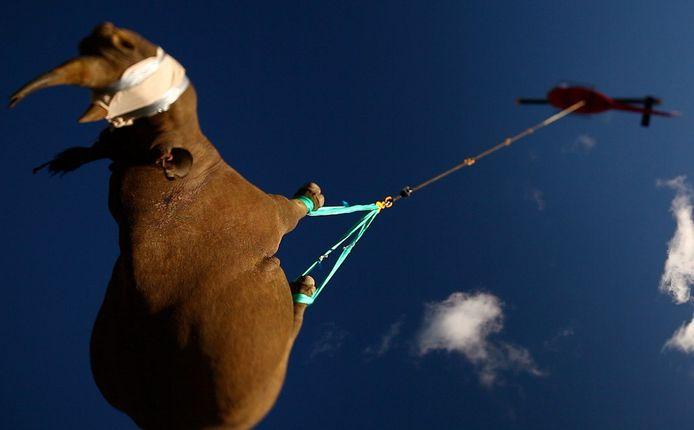 Les rhinocéros sont mieux transportés la tête en bas que sur le côté.