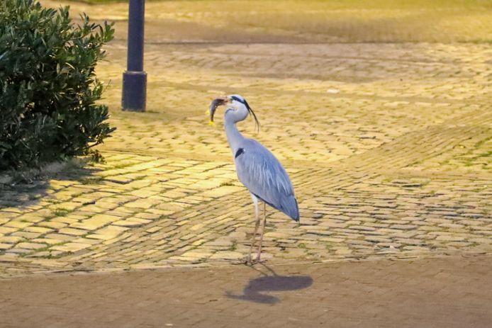 Blauwe reiger verorbert in de Beekstraat in Arnhem een visje dat hij heeft gevangen in de Jansbeek.