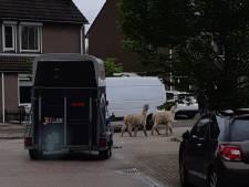 Alpaca's nemen de benen in Klundert