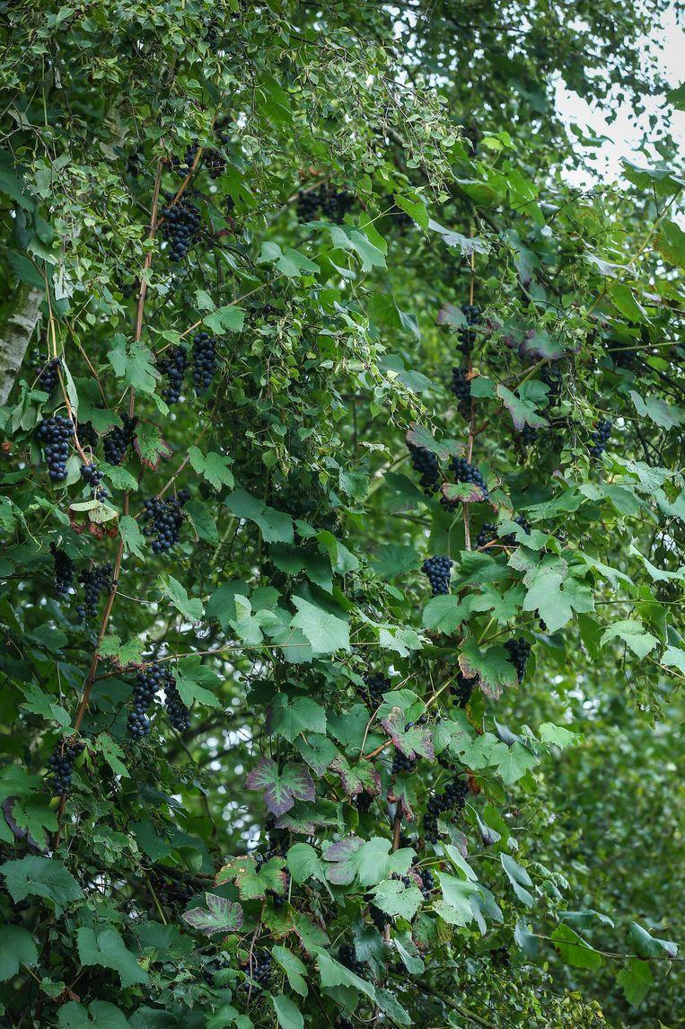 Er groeien wel degelijk druiven aan de rank.