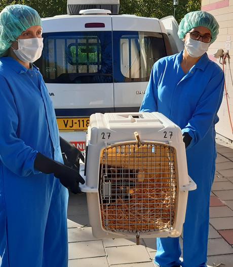 Eerste wasbeer Limburg levend gevonden in kooi