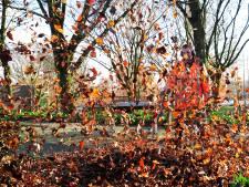 Vallende eikels en bladeren worden bomen in Wijchen fataal