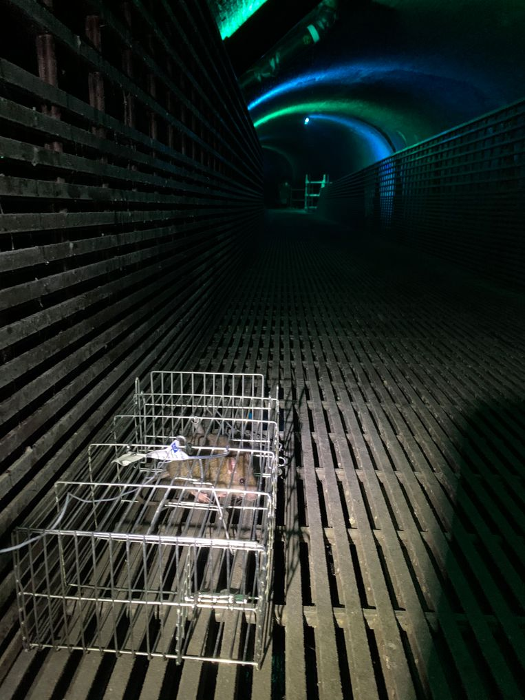 Enkele ratten die gevangen werden in de Antwerpse Ruien, om hen te laten testen op SARS-CoV-2. Beeld RV
