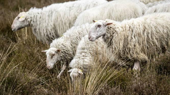 Dieven stelen schaapjes uit weide