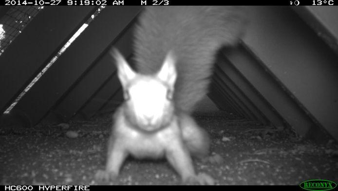 Een de weg overstekende eekhoorn.