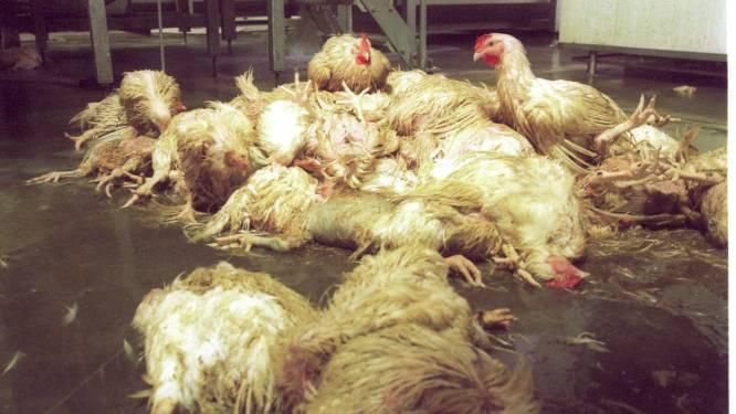 Veevoederfabrikant vrijuit in zaak schadevergoeding dioxinecrisis