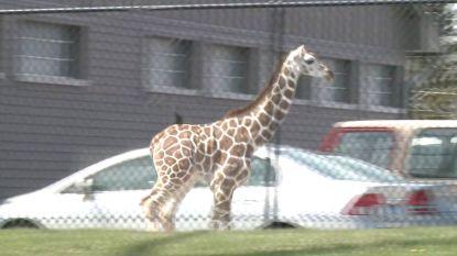 Deze kleine giraf was het even beu in de dierentuin en ontsnapte