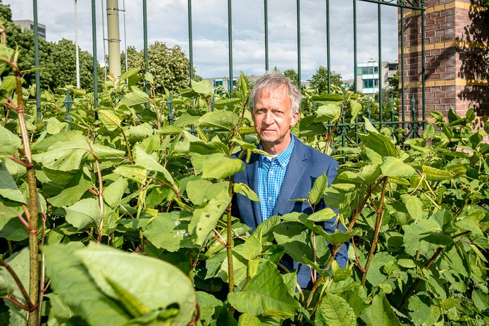 Aad van Leeuwen, de duizendknoopkenner van de gemeente Rotterdam: ,,Ze groeien dit jaar wel heel erg goed.''