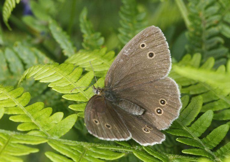 Ook vlinders, zoals het koevinkje, zijn liefhebbers van vochtige zomers. Beeld Getty Images