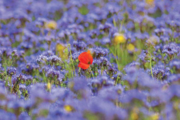 Bij bloemenveldzaad kan je zowel zaad van één- als meerjarigen aankopen.