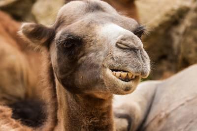 Gesloten dierenpark in financiële nood biedt dieren ter adoptie aan: 'Kameel kost 600 euro'