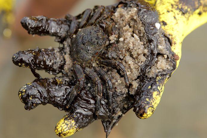 Een met olie besmeurde krab die bij strandopruimwerkzaamheden werd gevonden in Cabo de Agostinho, Brazilië.