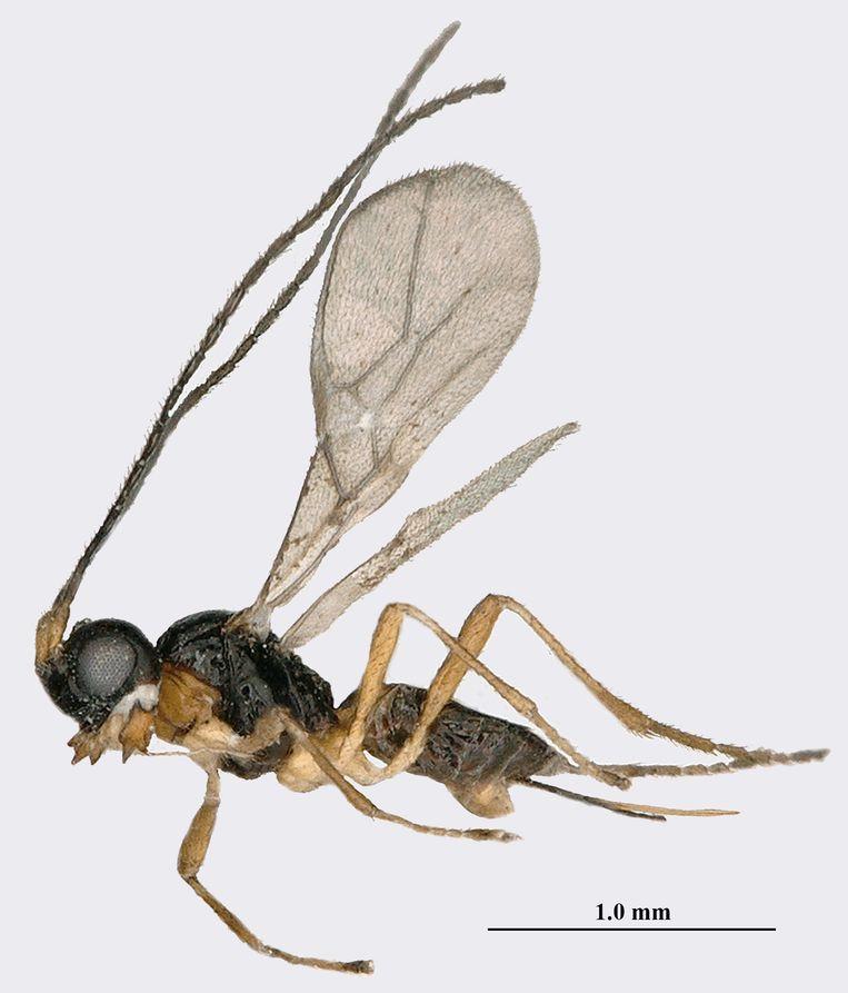 Aphaereta vondelparkensis.