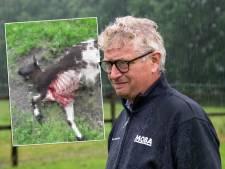 Schaap van boer Gerrit werd doodgebeten door een vos blijkt uit DNA-onderzoek: 'Geloof het niet'