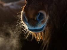 Manegehouder na dramatisch overlijden pony's Buddy, Isa en Dana: 'Een nachtmerrie'