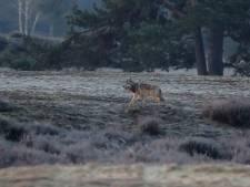 Ineens stond Gerbrand (42) oog in oog met een wolf: 'Ik geloofde mijn ogen niet'