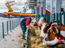 Duitse kritiek op 'Westlandse' floating farm: 'Niemand heeft drijvende stal nodig, vooral de dieren niet'