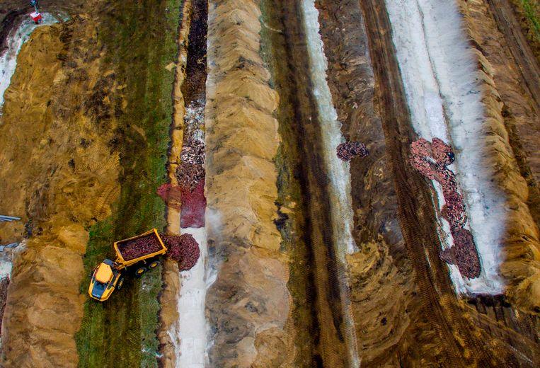 Bij massaal begraven treedt door bederf gasvorming op, waardoor het materiaal weer naar boven komt. Beeld AFP