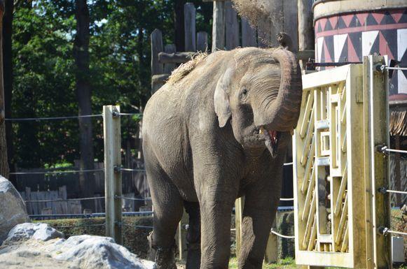 De Aziatische olifant Fahim is verhuisd naar Nederland.