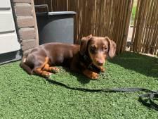 Pup Iggy werd ontvoerd, maar is nu weer thuis dankzij iemand die het hondje herkende in de trein