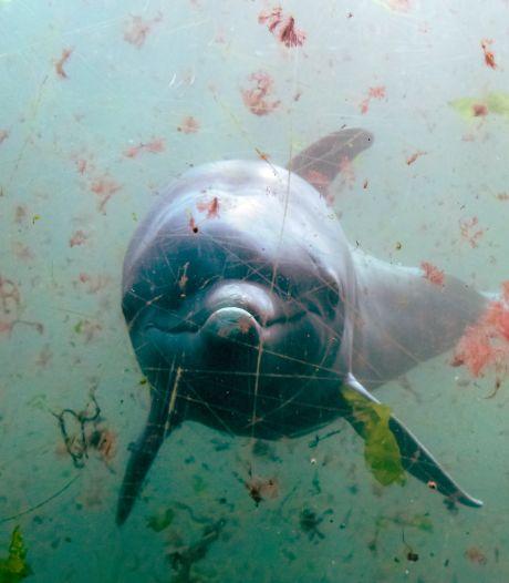 Actiegroepen vrezen stiekeme verhuizing van Dolfinarium-dolfijnen naar China
